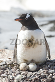 female Gentoo penguins on the nest with two eggs