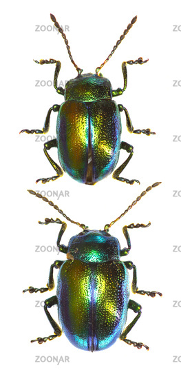 Dead-nettle Leaf Beetle  -  Chrysolina fastuosa (Scopoli, 1763)