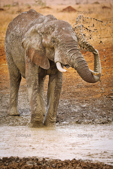 huge african elephant with mud, south africa