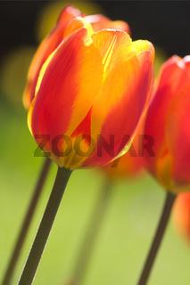 Rot-gelbe Tulpe