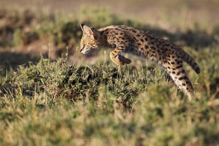 Junger Serval im Sprung Jagd, Masai Mara, Kenia.