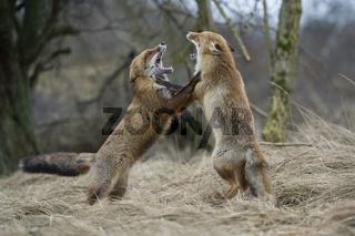 auf den Hinterpfoten... Rotfüchse * Vulpes vulpes* bedrohen sich gegenseitig, kämpfend