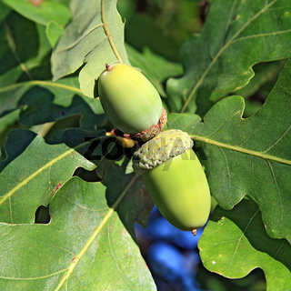 acorn amongst sheet of the oak