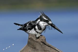 Graufischer (Ceryle rudis), Eisvogel, Chobe Fluss, Chobe-Nationalpark, Botswana, Afrika, Pied Kingfisher, Chobe River, Chobe NP, Africa