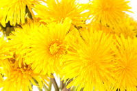 Close up view of yellow dandelion flowers