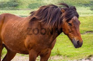 Braunes Pferd im Wind