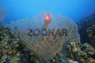 Taucher mit grosser Gorgonie, Subergorgia sp., Large Gorgonian Sea Fan, Dahab, Aegypten, Rotes Meer, Egypt, Red Sea