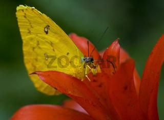 Phoebis sennae Schwefelfalter