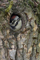 just cute... adolescent Great Spotted Woodpecker  *Dendrocopos major*
