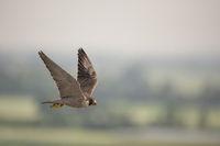 high above the countryside... Peregrine Falcon *Falco peregrinus*