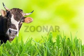 Cow grazing on farm field