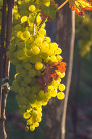 Bright grapes hang on a vine