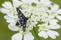 Nine spotted Moth, Amata phegea, Weißfleck Widderchen