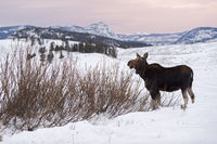 at dusk... Moose *Alces alces*