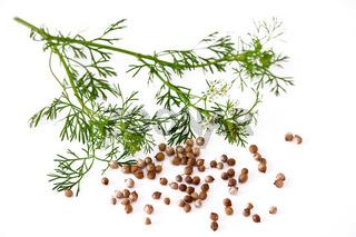 Koriander - coriandrum sativum - coriander -