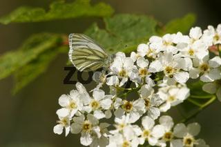 Vogelkirsche (Prunus avium) / Wild cherry (Prunus avium)