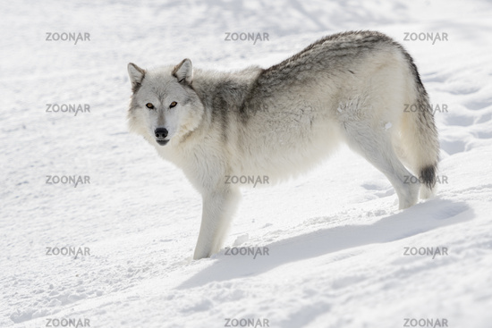 in winter... Gray Wolf *Canis lupus*