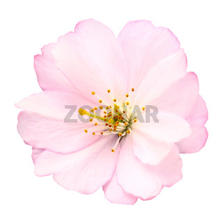 Cherry blossom isolated on white