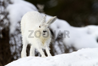 Schneehase im Schnee (Lepus timidus)
