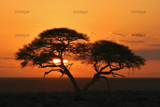 Etosha National Park, Namibia, Umbrella Thorn Acacia at sunrise, Africa