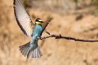 bee-eater landing on a branch