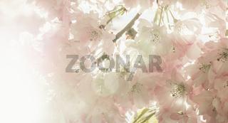 Ein Zierkirschenbaum in voller Blüte