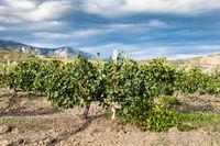 vineyard of winery farm Alushta in mountain valley