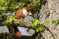 Red Squirrel 20