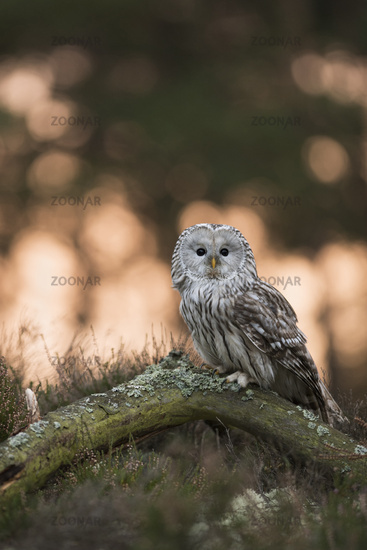 attentive... Ural Owl *Strix uralensis*