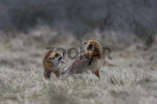 heftige Auseinandersetzung... Rotfüchse *Vulpes vulpes*