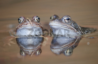 Grasfrosch / Common Frog / Rana temporaria