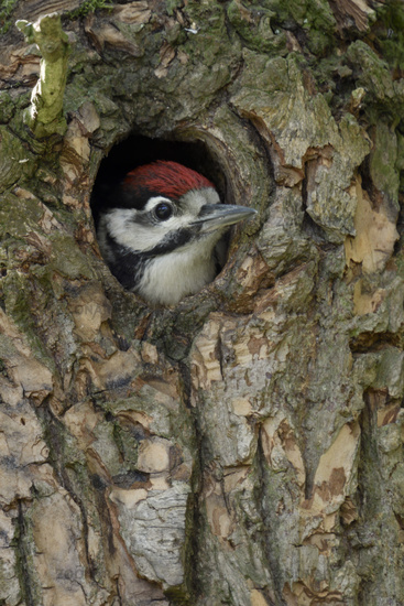 adolescent watching out of its nest hole... Great Spotted Woodpecker *Dendrocopos major*