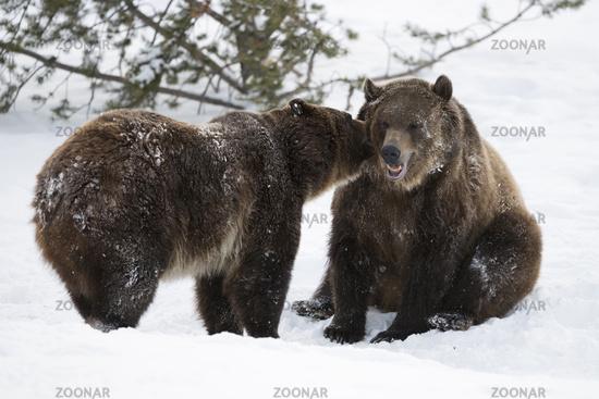 telling secrets... Grizzly bears *Ursus arctos horribilis*