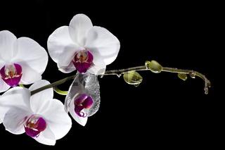 weißen Orchideen mit Tautropfen auf schwarz isoliert