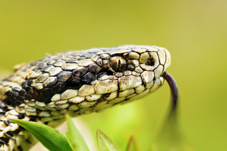 portrait of female Vipera ursinii rakosiensis