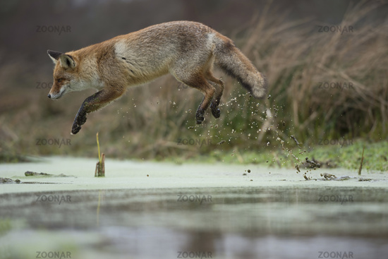 jumping over a swampy creek ... Red Fox *Vulpes vulpes*