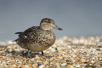 Europe's smallest duck... Teal *Anas crecca*