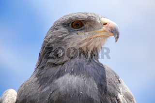 Black-chested buzzard-eagle at the market in Maca, Colca Canyon, Peru