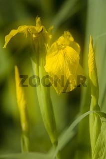 Wasser-Schwertlilie, Sumpf-Schwertlilie, Iris pseudocorus, Yellow iris
