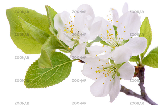 blooming blossoms of plum tree isolated over white background