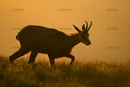 at sunrise... Alpine Chamois *Rupicapra rupicapra*