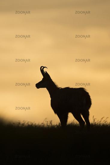 silhouette against the evening sky... Alpine chamois *Rupicapra rupicapra*
