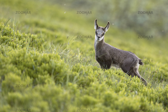 Goatling... Alpine chamois *Rupicapra rupicapra*