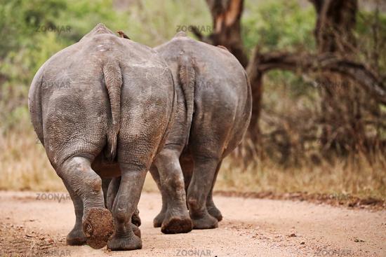 backs of two walking white rhinoceroses, South Africa