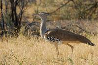 Namibia, Etosha, Riesentrappe
