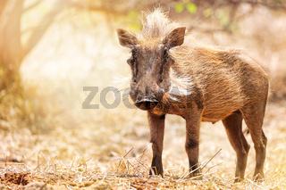 Warzenschwein im Kruger Nationalpark,Südafrika; Warthog, South Africa, wildlife, Kruger Nationalpark