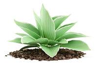 hosta plant isolated on white background