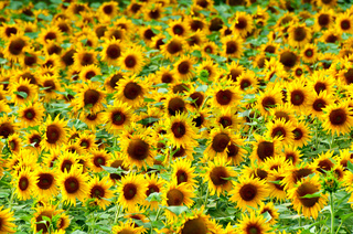 Sonnenblumen, sunflowers