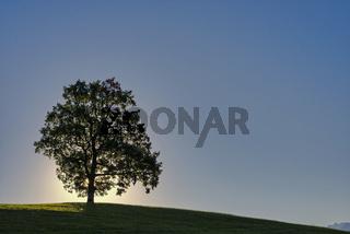 Einzelne Stieleiche (Quercus robur), bei Füssen, Ostallgäu, Bayern, Deutschland, Europa