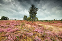 flowering heather during rainy day